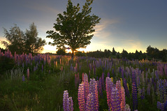 The symphony of Lupines photo by Nadly Aizat