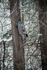 The Grey Owl photo by Thousand Word Images by Dustin Abbott