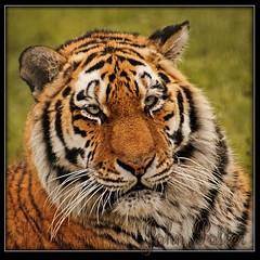 Siberian Tiger photo by JoPoBePo