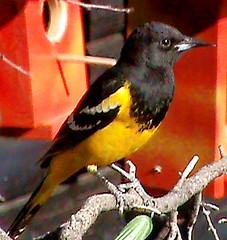 """Icterus parisorum"" Scott's Oriole : Male photo by Bird Paradise"