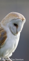 Barn Owl (Tyto alba) 07 Feb-13-40621 photo by tim stenton www.TimtheWhale.com