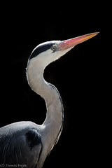 Grey Heron - back light photo by Thomas Frejek