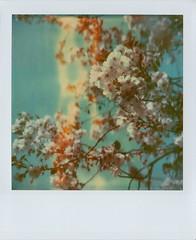 TZ blossoms photo by Joep Polaroid Photography