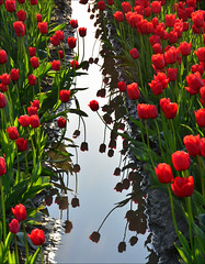 Skaget Valley Tulip Field, More Shadows and Reflections, Washington State photo by Don Briggs