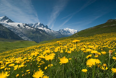 Meadow of Yellow Flowers and Mountains photo by OneEighteen