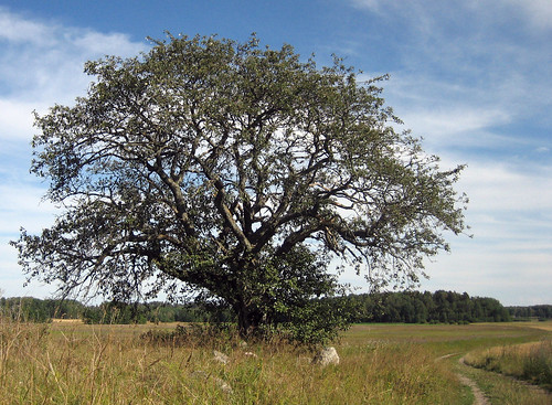 That Old Tree (August 5th)