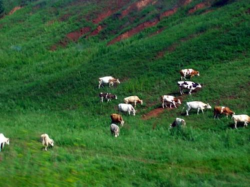 Коровы \ Cows