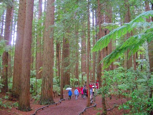 非常高大的紅木森林區