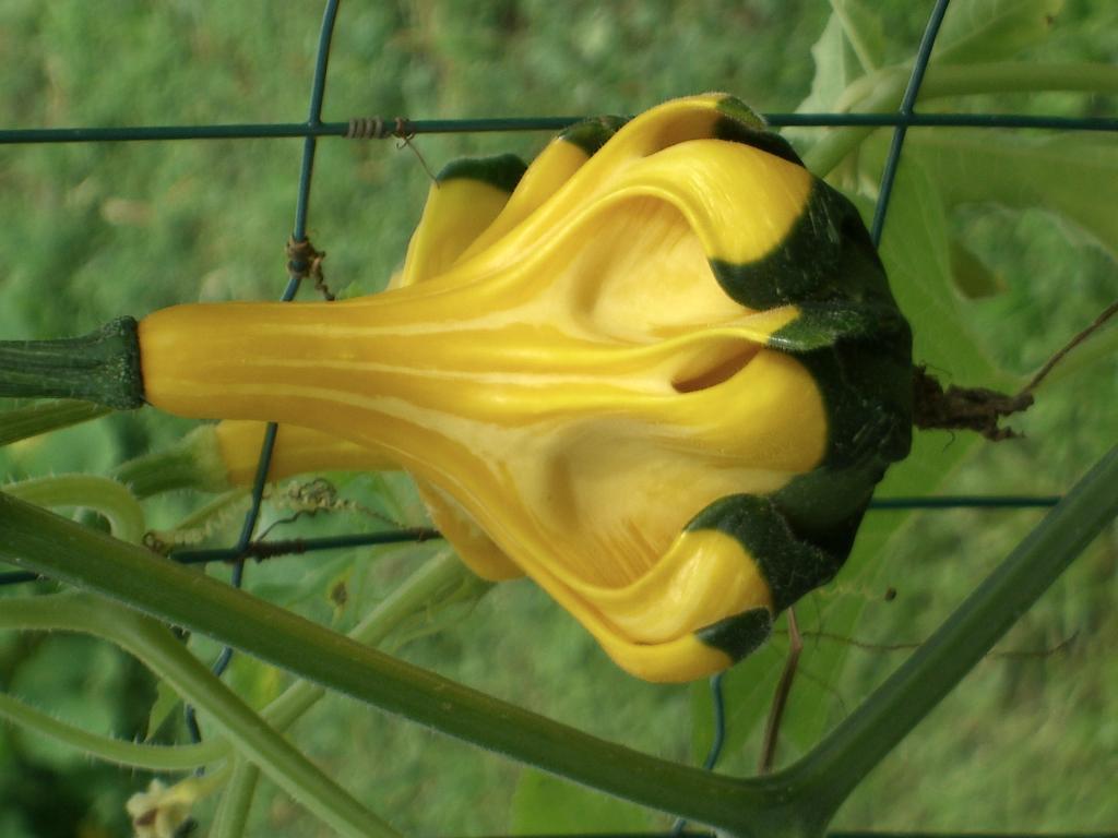 Weird Gourd