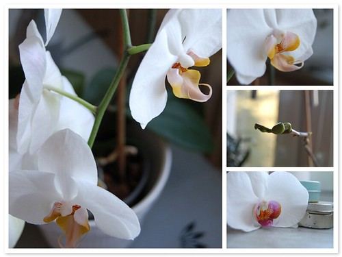 Orchids in my window