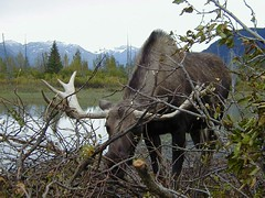 Hungry Bull Moose - P1010258