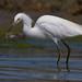 snowy-egret-9258-remap
