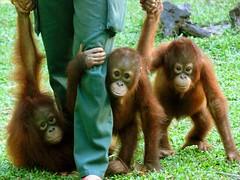 Nyaru Menteng orangutan reintroduction project