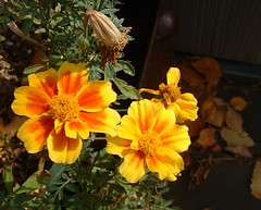 35 october marigolds