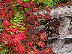 Fence and Vine Maple, Autumn