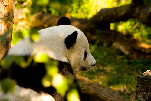 Contemplative Tian Tian