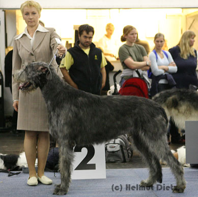 QL9T1354_Irish_Wolfhound