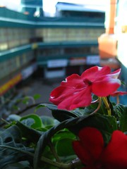 Some more flowers, Ooty 2006