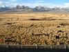 yaks-grasses