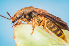 Rove Beetle (Platydracus maculosus) photo by ECS Photography