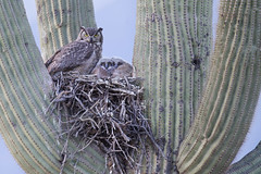 Great-horned Owl and Saguaro Nest photo by www.studebakerstudio.com