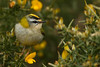 AW9H3094 Firecrest (Regulus ignicapillus) photo by asbimages.co.uk