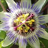 PASSION FLOWER photo by Marcelxxl