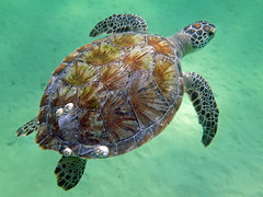 Green sea turtle, Navarre Beach, Florida photo by Hawkfish