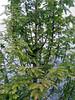 Métasequoia