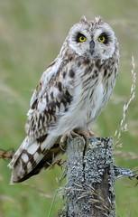 Short Eared Owl Crop - Explored 11/07/2012 photo by TL1000R Al (Falling waaaaaayyyyyyyy behind)