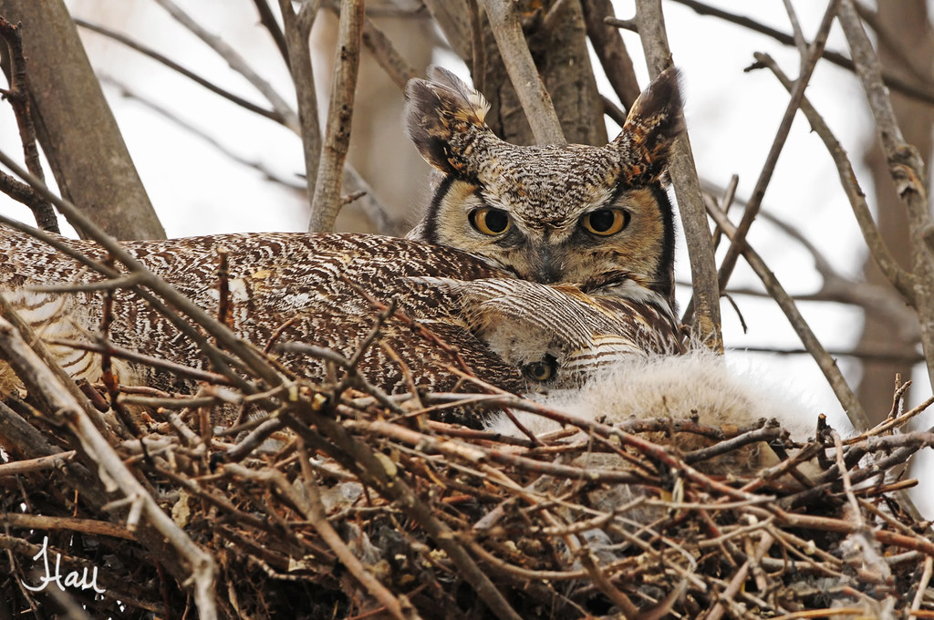 Peeking Out - Great-horned Owl and Chick - 5978b+sg photo by teagden