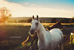 Day 240/365: All The Wild Horses {Explored} photo by jennydasdesign