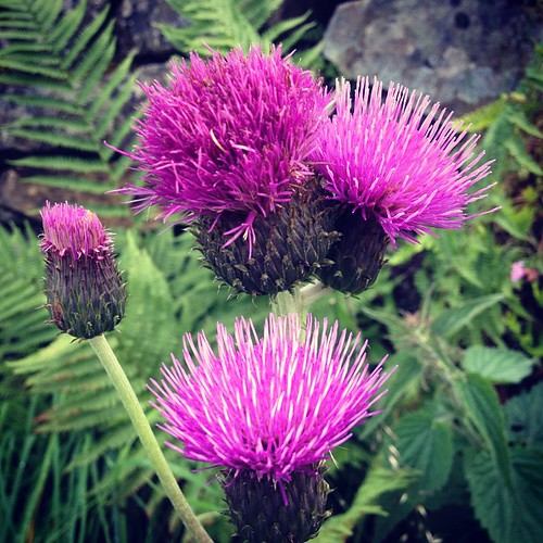 Thistles a plenty on today's walk #c2c