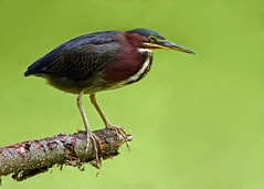 Green Heron with Duckweed Background photo by Windows to Nature