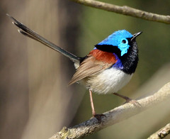 Male Variegated Fairy-Wren photo by James Niland