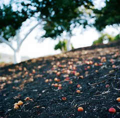 fallen fruit photo by oceanerin