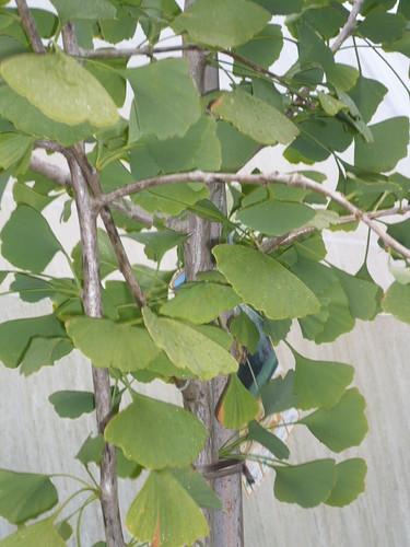 ginkgo biloba (arbre aux mille ecus