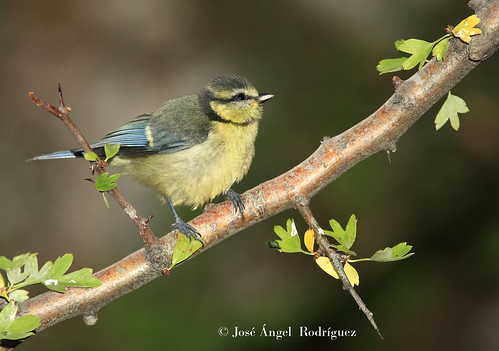 HERRERILLO COMÚN  (Cyanistes caeruleus) photo by Jose Angel Rodri­guez