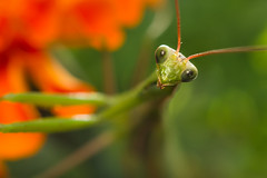 Praying Mantis photo by PiotrHalka