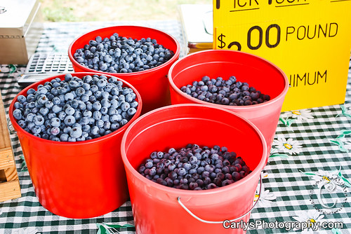 blueberry picking-11.jpg