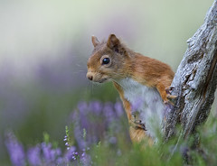 Red Squirrel photo by David C Walker 1967