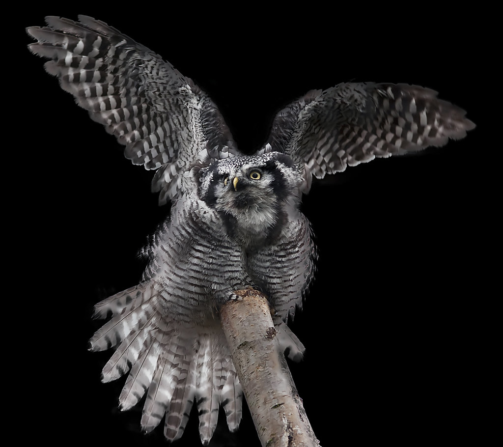 Northern Hawk Owl (Explored) photo by Stephen Bridson
