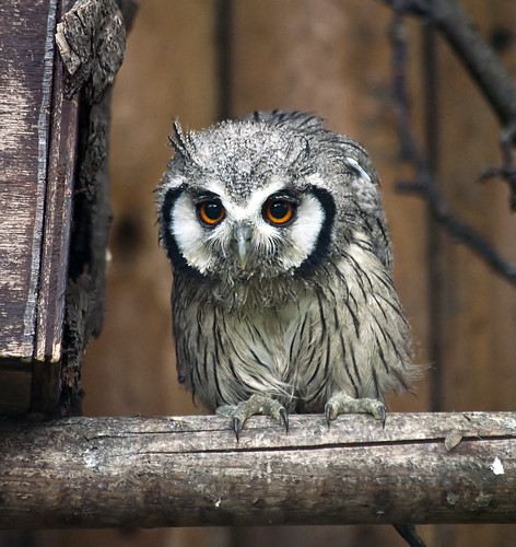 White-Faced Scops Owl Fledgling photo by Stephen Bridson