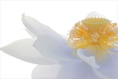 Lotus Flower Surreal Series: DD0A8384-1-1000 photo by Bahman Farzad