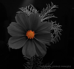 COSMOS photo by michaeljohnsimages