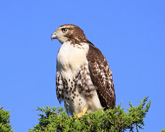 red tailed hawk photo by Denise Pelley