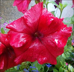Red Petunia .. photo by * Janets Photos*