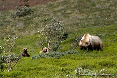 Hey mom, a guy is watching us! Alaska photo by My Planet Experience
