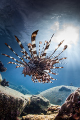 majestic prowling lion fish photo by Paul Cowell