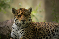 Jaguar photo by mellting